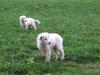 Maremmano Herdenschutz Hunde