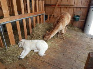 Maremmano und Alpaka im Stall