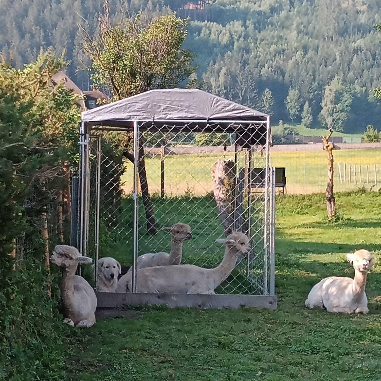 Steirerland-Alpakas2