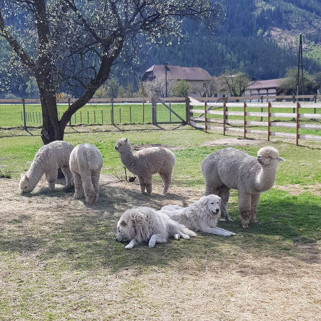 Steirerland-Alpakas4